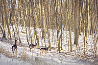 Germany, Mecklenburg-Western Pomerania, Ruegen, Stags in forest in winter - MJF000664