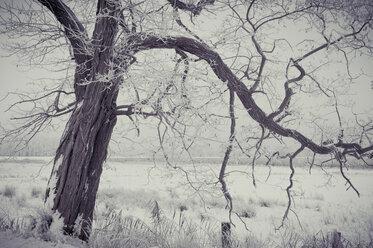 Germany, Mecklenburg-Western Pomerania, Ruegen, Tree in winter - MJF000595