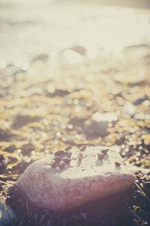 Germany, Mecklenburg-Western Pomerania, Ruegen, Stones and seashells on beach at Cape Arkona - MJF000651