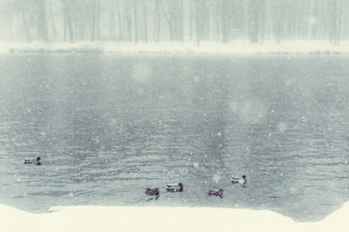 Ducks on lake in winter - MJF000691