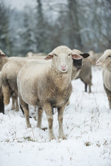 Germany, Rhineland-Palatinate, Neuwied, flock of sheep standing on snow covered pasture - PAF000289