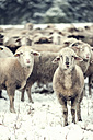 Germany, Rhineland-Palatinate, Neuwied, flock of sheep standing on snow covered pasture - PAF000293