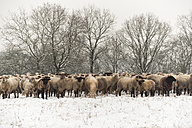 Germany, Rhineland-Palatinate, Neuwied, flock of sheep standing on snow covered pasture - PAF000297
