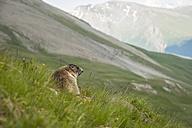 Austria, Carinthia, Kaiser-Franz-Josefs-Hoehe, alpine marmot (marmota marmota) on meadow - PAF000277