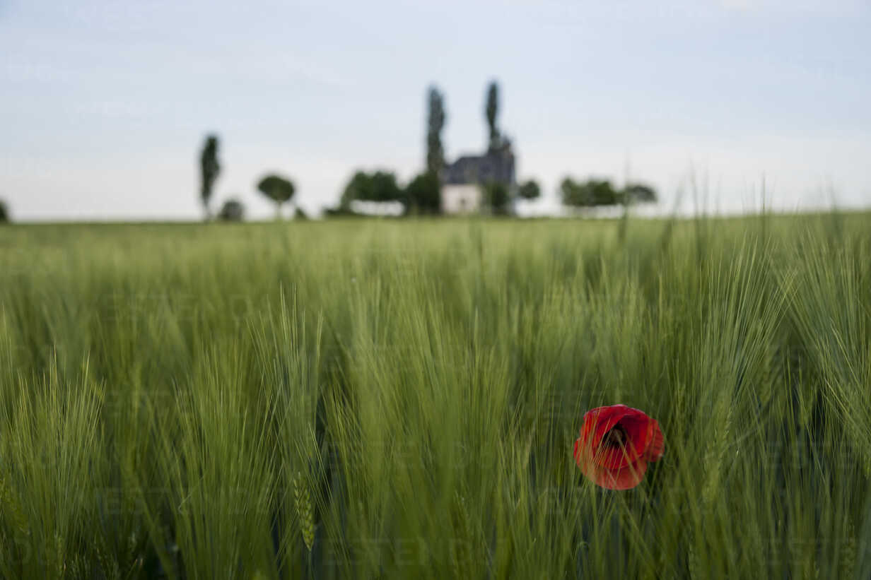 Germany, Rhineland-Palatinate, Vulkan Eifel, Mertloch, wheat field with single poppy blossom (Papaver rhoeas) in front of Holy Cross Chapel - PAF000302 - Andreas Pacek/Westend61