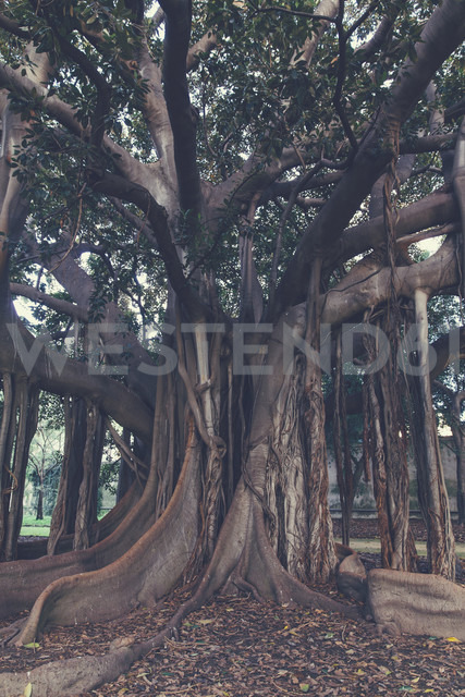 Italy, Sicily, Palermo, Giant rubber tree at the Botanical Garden - MF000828