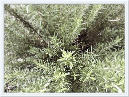 Rosemary in the garden, Germany - MYF000130