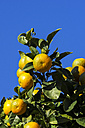 Spain, Balearic Islands, Mallorca, Valldemossa, Orange tree - THAF000019