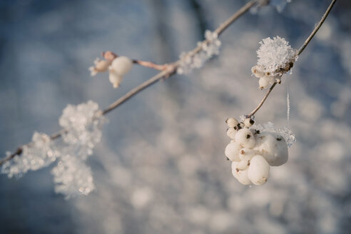 Snowcovered snowberries (Symphoricarpos), close-up - MJF000775