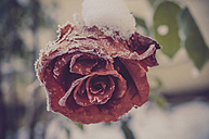Snow covered blossom of red rose, close-up - MJF000776
