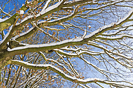 Germany, view to snow covered branches from below - MJF000784