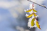 Frozen leaf, close-up - MJF000787
