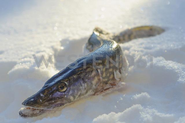 Pike lying in snow - MJF000794 - Jana Mänz/Westend61