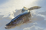 Pike lying in snow - MJF000794