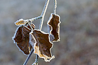 Frozen autumn leaves hanging at twig - MJF000799
