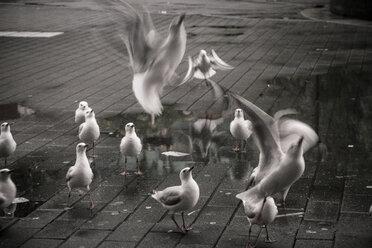 Australia, New South Wales, Sydney, flock of seagulls - FBF000206