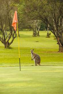 Australia, Hawks Nest, kangoroo (Macropus giganteus) on golf course - FB000166