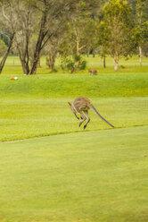 Australia, Hawks Nest, kangoroo (Macropus giganteus) on golf course - FB000168