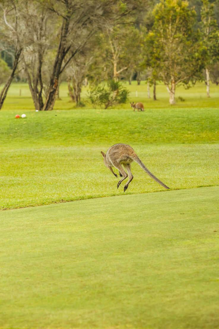 Australia, Hawks Nest, kangoroo (Macropus giganteus) on golf course - FB000168 - Frank Blum/Westend61