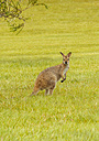 Australia, Hawks Nest, kangoroo (Macropus giganteus) on golf course - FBF000169