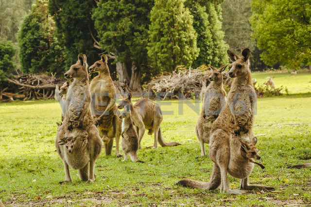 Australia, New South Wales, kangoroos, some with joey (Macropus giganteus) on meadow - FBF000173