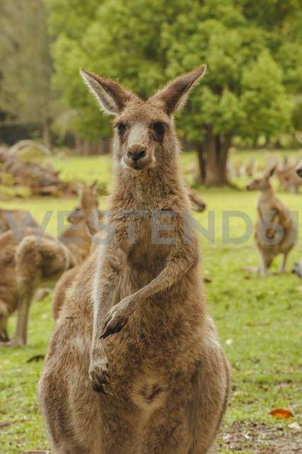 Australia, New South Wales, kangoroos (Macropus giganteus) on meadow - FBF000175 - Frank Blum/Westend61
