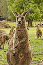 Australia, New South Wales, kangoroos (Macropus giganteus) on meadow - FBF000175