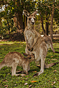 Australia, New South Wales, Kangoroo with joey (Macropus giganteus) on meadow - FB000179