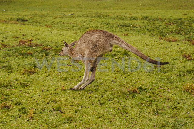 Australia, New South Wales, kangoroo (Macropus giganteus) jumping on meadow - FBF000180 - Frank Blum/Westend61