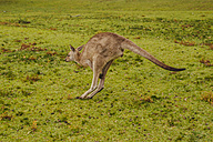 Australia, New South Wales, kangoroo (Macropus giganteus) jumping on meadow - FBF000180