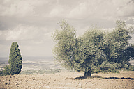 Italy, Tuscany, Val d'Orcia, Olive tree in field - MJF000741