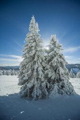 Germany, Baden-Wuerttemberg, Black Forest, Feldberg, trees in winter - PAF000324