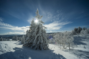 Germany, Baden-Wuerttemberg, Black Forest, Feldberg, trees in winter - PAF000307