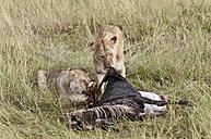 Kenya, Rift Valley, Maasai Mara National Reserve, Lions eating blue wildbeest - CB000198