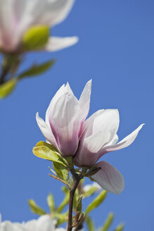 Magnolia blossoms in front of blue sky, close-up - GWF002502
