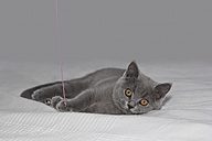Grey British shorthair lying on bed, playing with toy - YFF000022