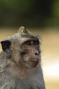 Indonesia, Bali, Close up of long-tailed macaque - KRPF000193