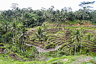 Indonesia, Bali, Tampaksiring, rice fields in Tegalalang - KRP000240