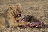 Africa, Kenya, Maasai Mara National Reserve, Female lion, Panthera leo, eating - CB000204