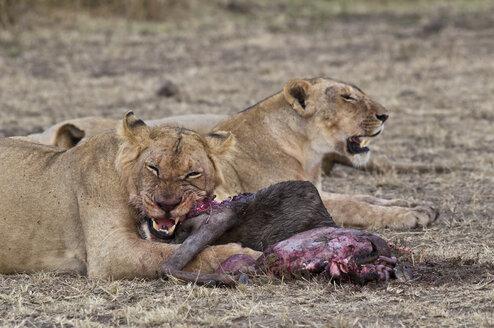 Africa, Kenya, Maasai Mara National Reserve, Lions, Panthera leo, females, eating a Blue Wildebeest - CB000208