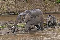 Africa, Kenya, Maasai Mara National Reserve, African Bush Elephants, Loxodonta africana, adult female with young crossing the Mara River - CB000218
