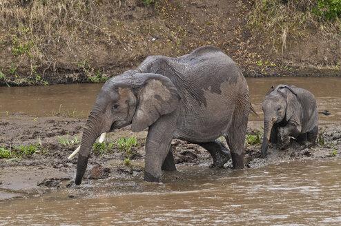 Africa, Kenya, Maasai Mara National Reserve, African Bush Elephants, Loxodonta africana, adult female with young crossing the Mara River - CB000218
