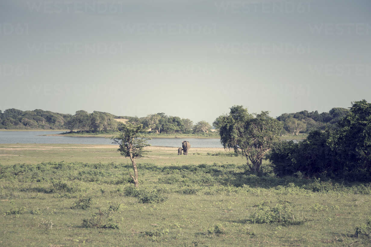 Sri Lanka, Southern Province, Yala National Park, cow elephant and calf - DRF000493 - Stefan Rupp/Westend61