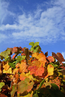 Germany, Bavaria, Dornach, autumn leaves and blue sky - AXF000621