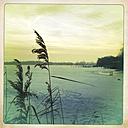 Reeds on the shore of the frozen Havel, Brandenburg, Germany - ZMF000195