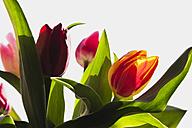 Bicoloured tulips (Liliaceae Tulipa) - GWF002508