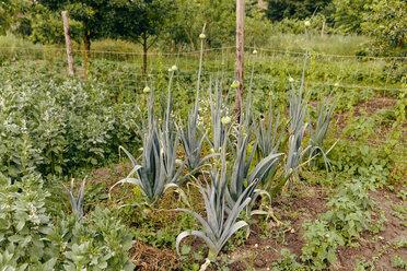 Leeks growing in vegetable garden - MFF000875