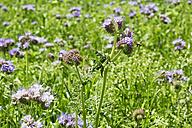 Germany, Rhineland-Palatinate, Lacy Phacelia (Phacelia tanacetifolia) - CSF020861