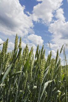 Germany, Rhineland-Palatinate, Wheat (Triticum aestivum), wheat ears - CSF020854