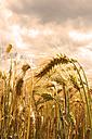 Germany, Rhineland-Palatinate, Barley (Hordeum vulgare), barley field, ears - CSF020849